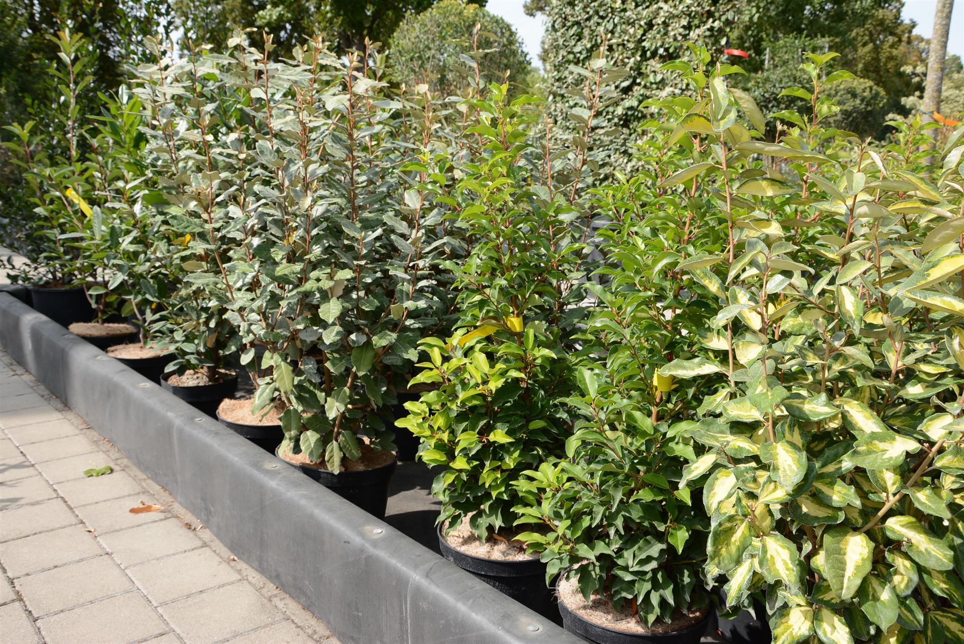 Haie De 6 Arbustes Persistants (Fermeture Visuelle Toute L ... concernant Buisson Pour Jardin