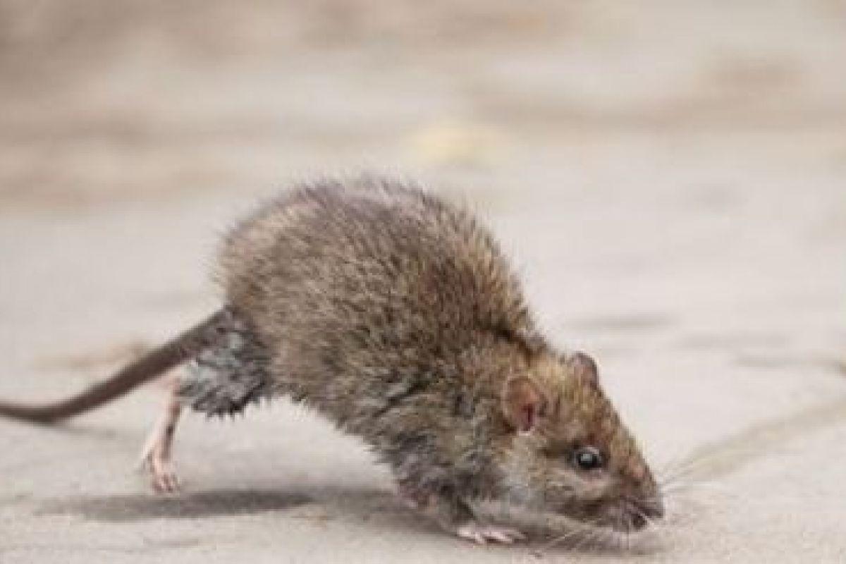Invasion De Rats Et Souris Dans Une Maison : Que Faire ? avec Comment Se Débarrasser Des Rats Dans Le Jardin