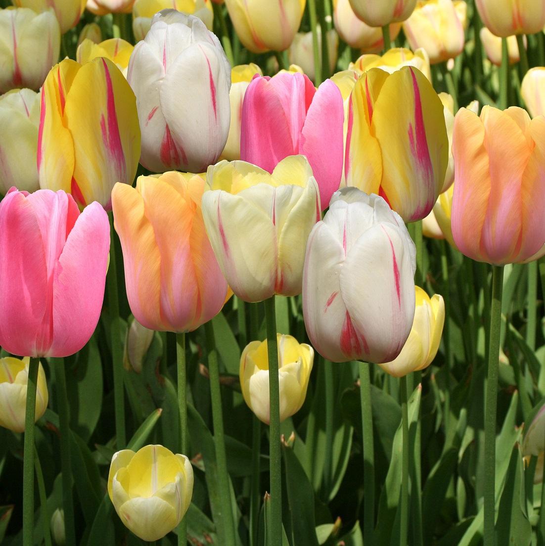 Jardin Ampoules Lot De 2 20 Tulipes À Fleurs De Pivoine En ... destiné Bordure Caoutchouc Jardin