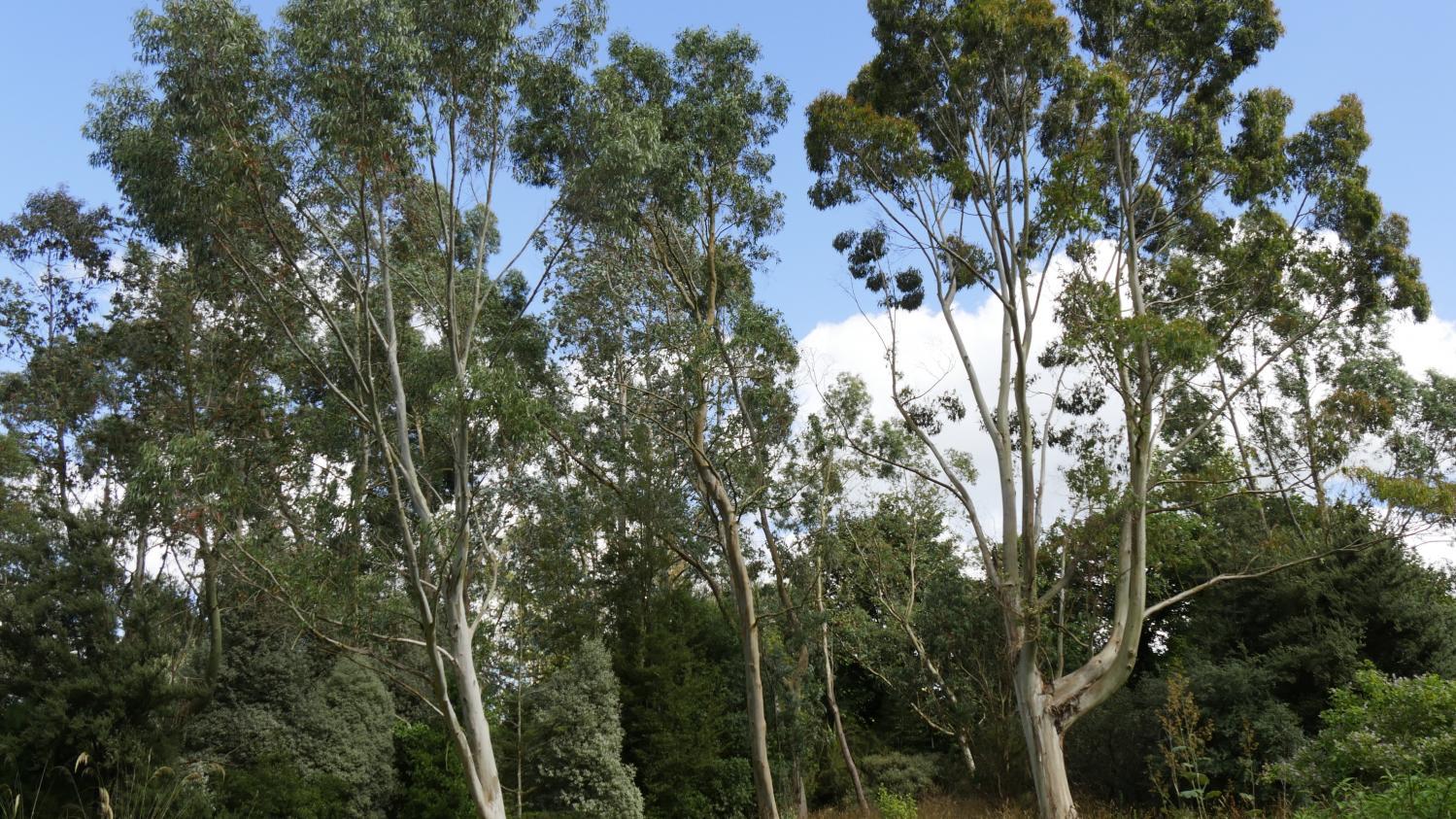 Jardin. Comment Choisir Et Planter Un Eucalyptus tout Ecorces Jardin