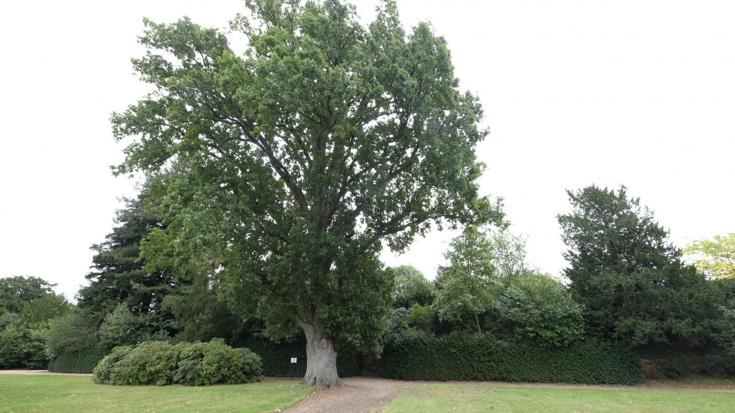 Jardin. Sa Majesté, Le Chêne ! dedans Arbre Pour Petit Jardin