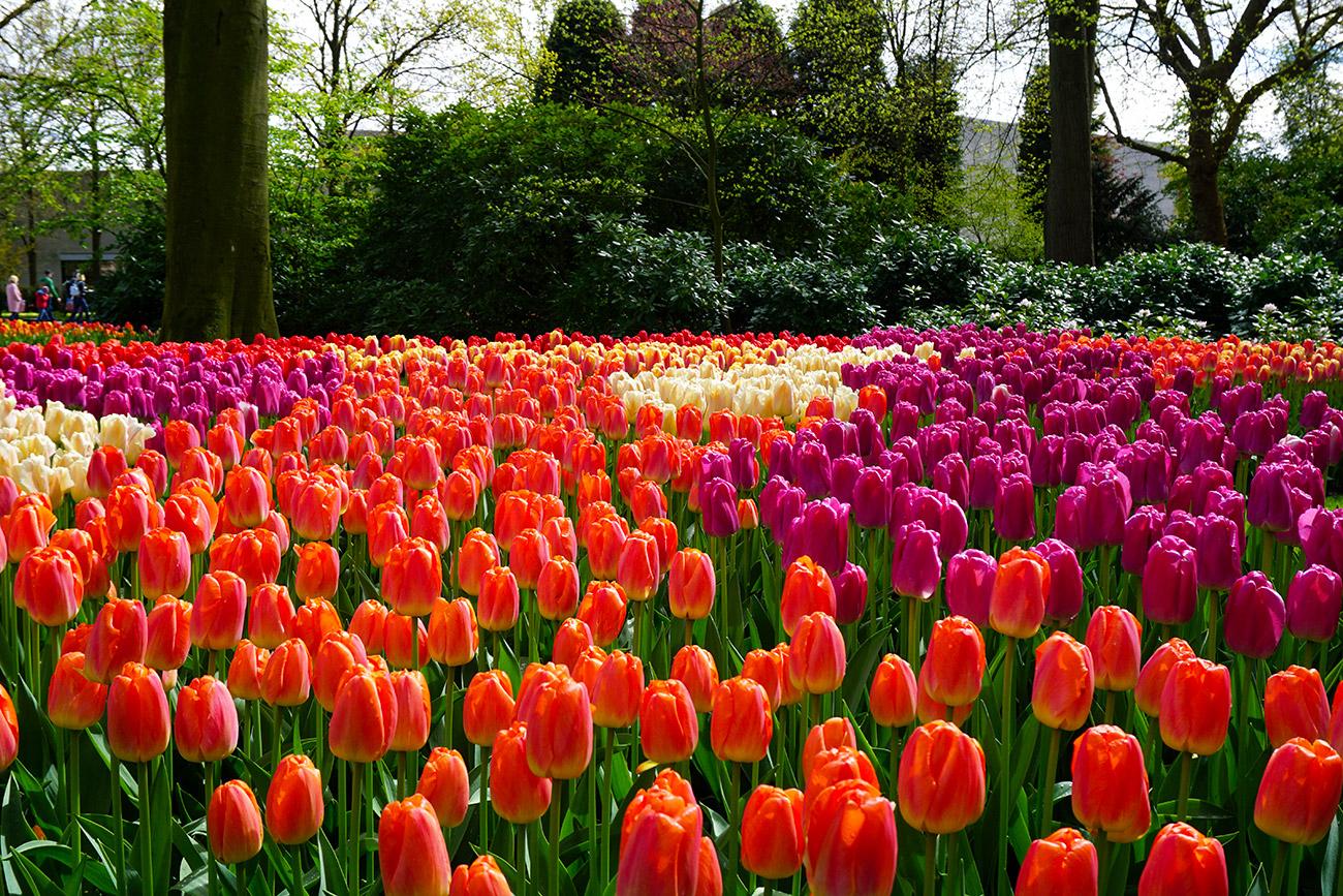 Keukenhof, Jardín De Tulipanes Más Grande Del Mundo | Mi ... dedans Jardin De Keukenhof