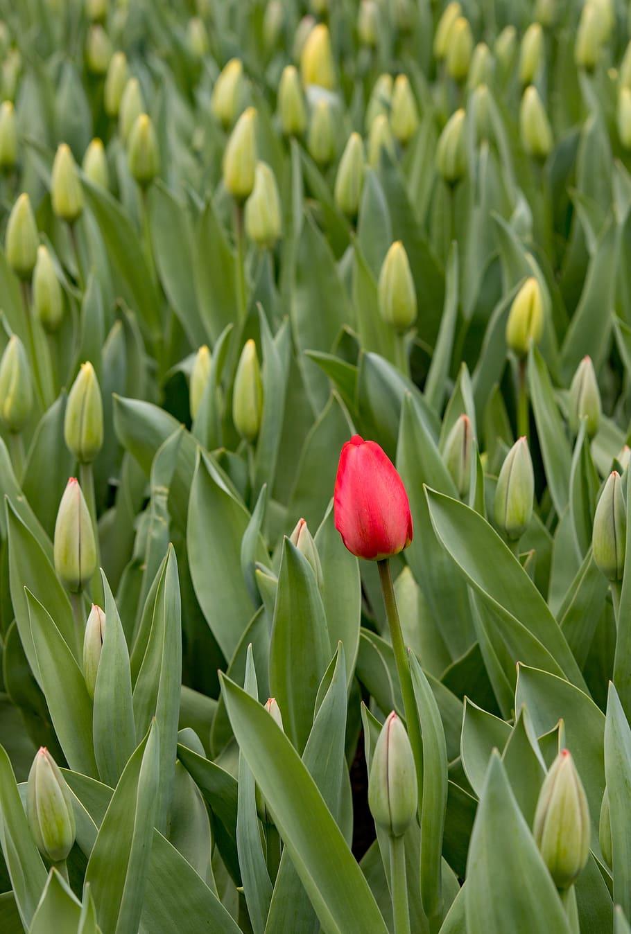 Keukenhof, Lisse, Tulipanes, Rojo, Holanda, Las Flores ... à Jardin De Keukenhof