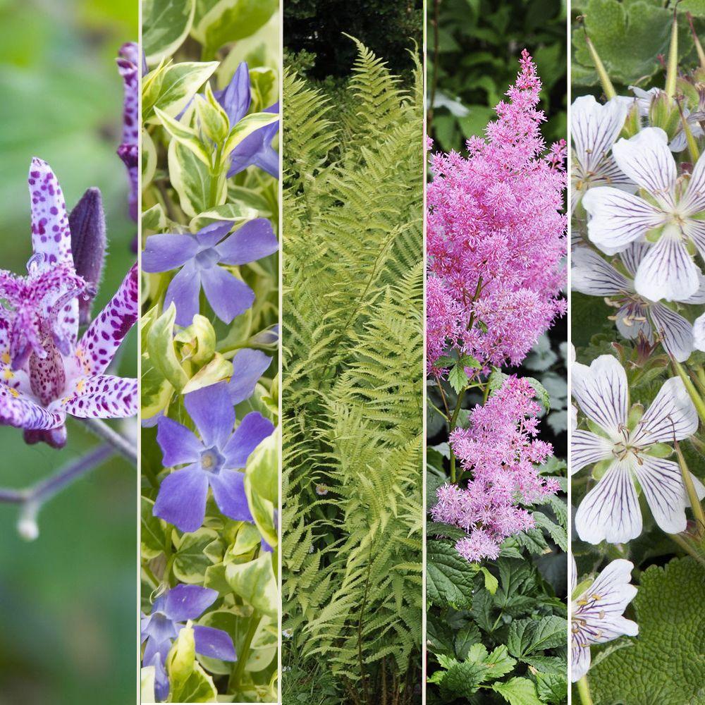 Kit De Vivaces : Jardin D'ombre tout Plante Jardin Ombre
