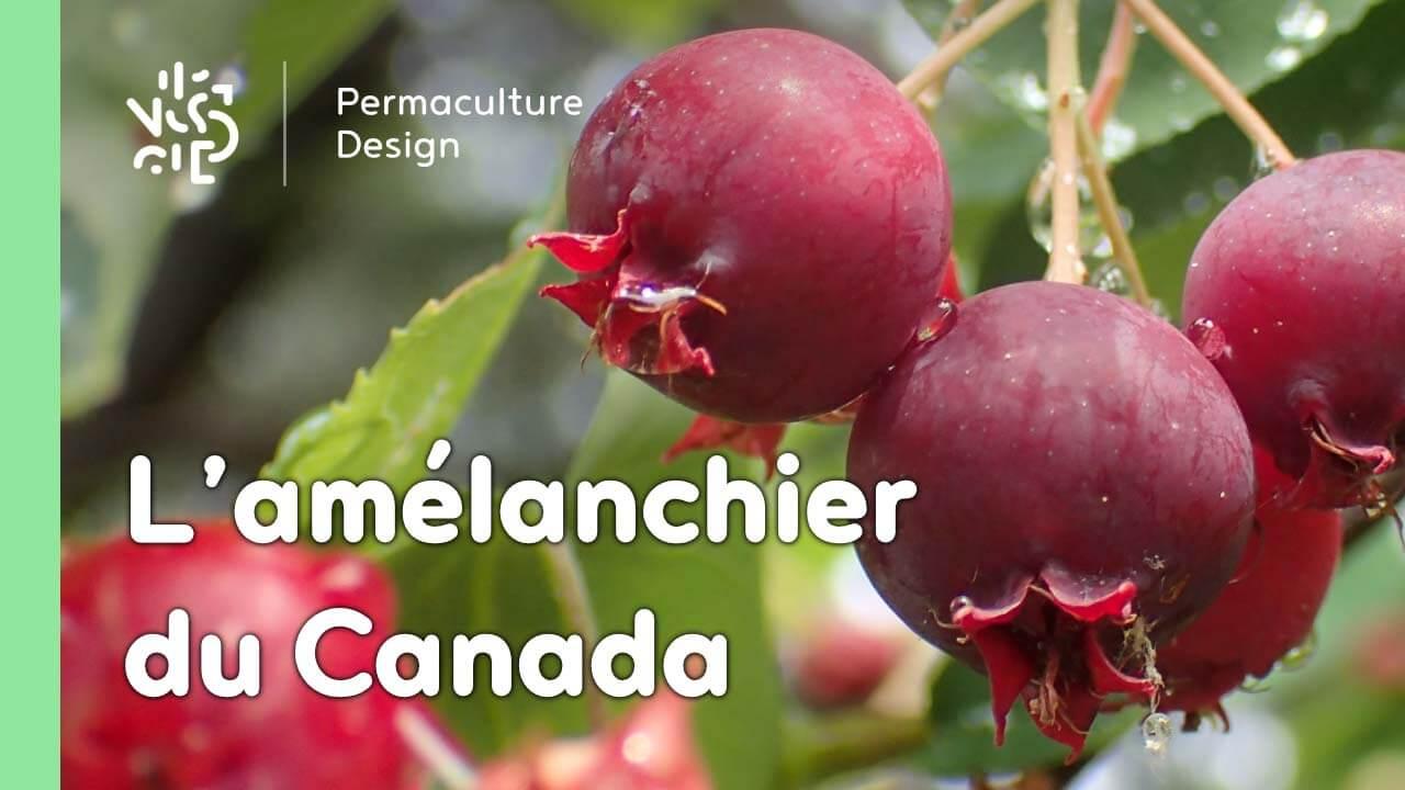L'amélanchier Du Canada tout Arbre De Jardin A Croissance Rapide