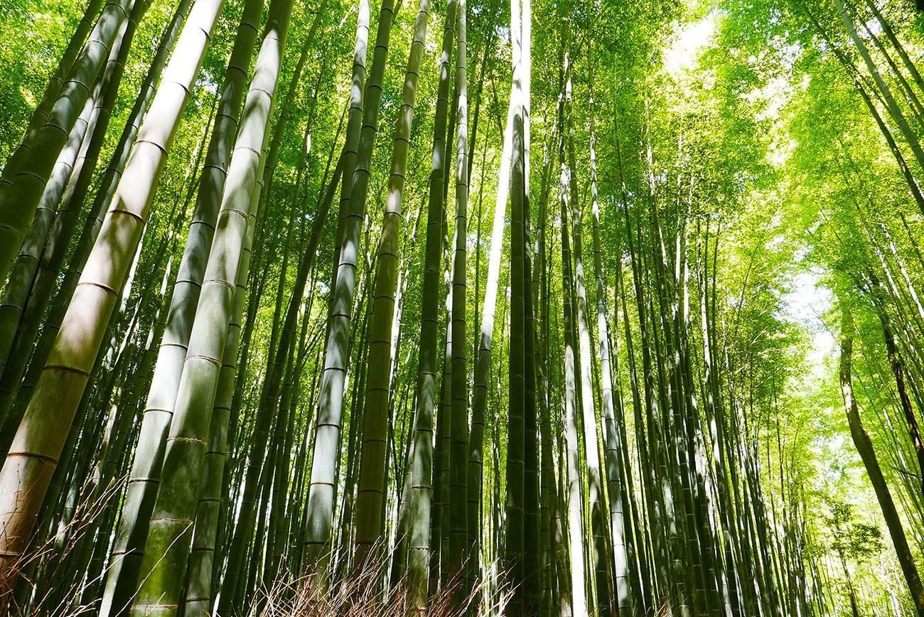 Le Bambou, Une Ressource Naturelle Aux Multiples Usages ... avec Comment Eliminer Les Bambous Dans Un Jardin