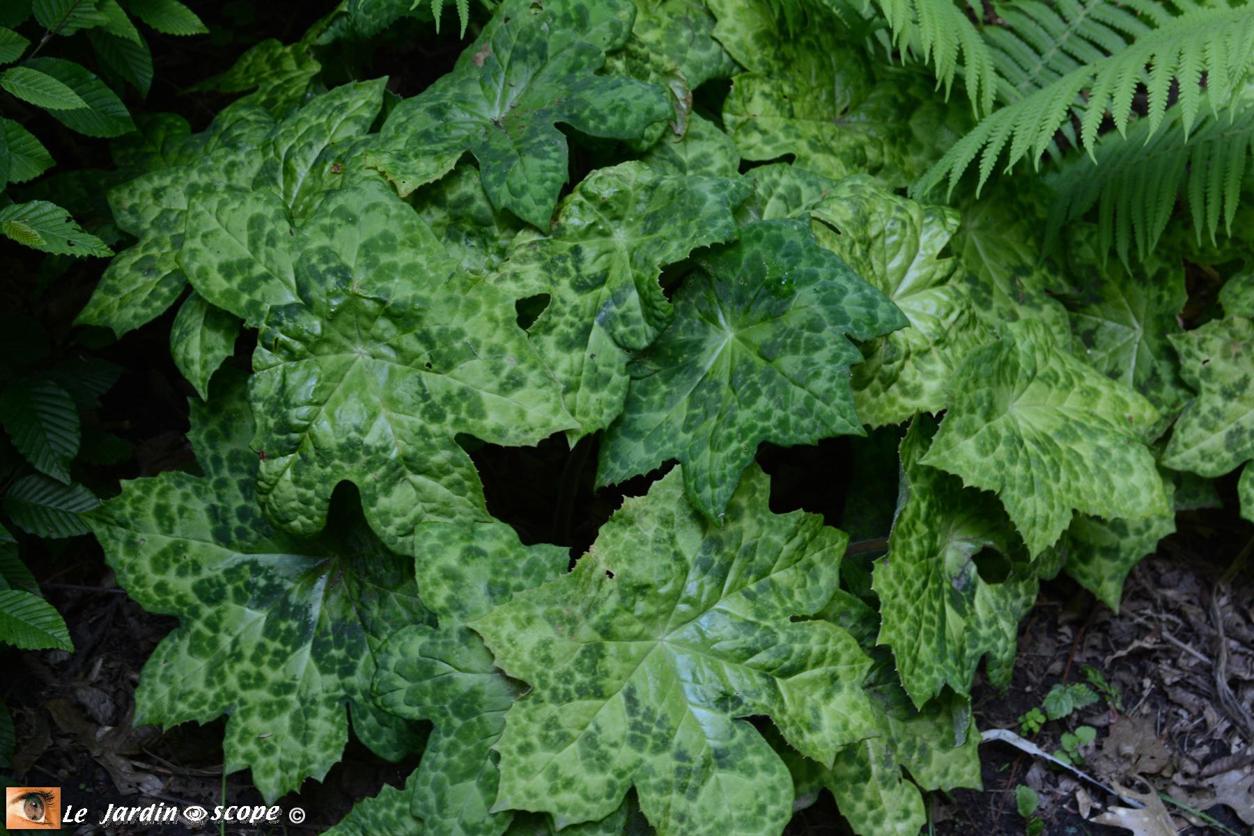 Le Podophyllum Une Plante Originale Pour Un Coin D'ombre ... pour Plante Jardin Ombre
