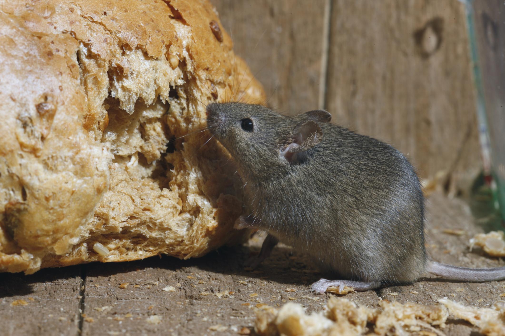 Leptospirose, Comment Éviter D'être Contaminé ? intérieur Comment Se Débarrasser Des Rats Dans Le Jardin