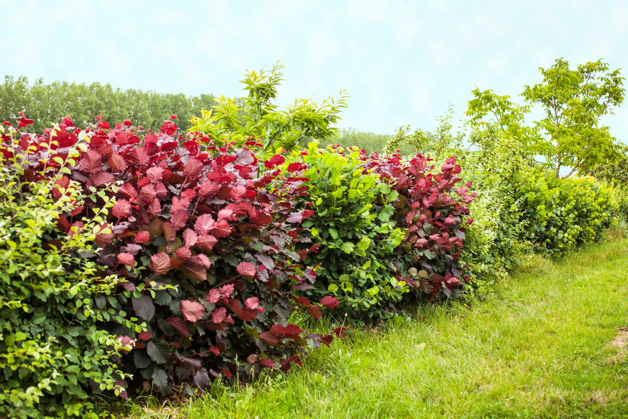 Les 6 Plantes À Privilégier Pour Une Haie De Jardin ... pour Buisson Pour Jardin