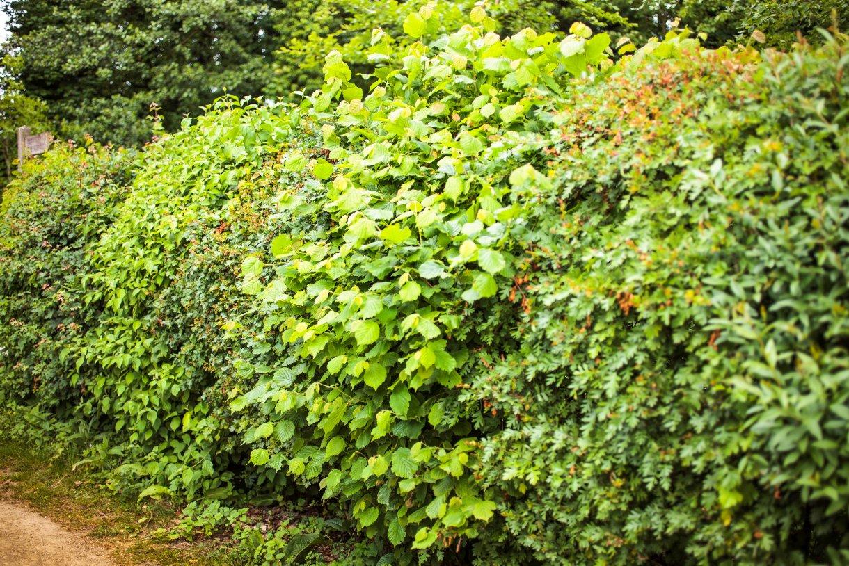 Les 6 Plantes À Privilégier Pour Une Haie De Jardin ... tout Haie De Jardin Pousse Rapide