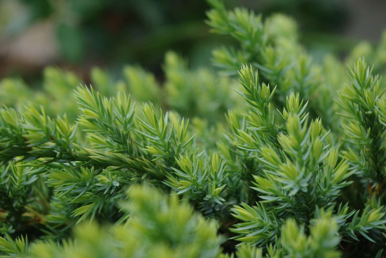 Les Arbres Et Arbustes Persistants pour Arbre Persistant Pour Petit Jardin