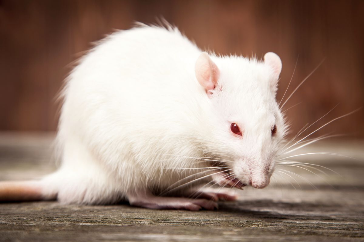 Les Bons Produits Pour Se Débarrasser Des Souris destiné Comment Se Débarrasser Des Rats Dans Le Jardin