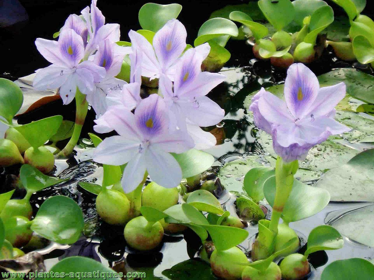 Les Plantes Aquatiques Incontournables Dans Le Jardinle ... tout Plante Bassin De Jardin