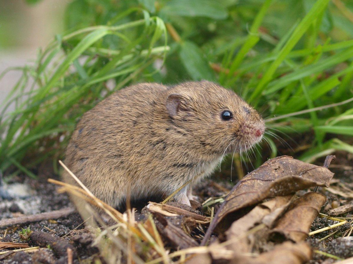 Les Rongeurs : Qui Est Qui Et Qui Mange Quoi? Et Quels Sont ... tout Comment Se Débarrasser Des Rats Dans Le Jardin
