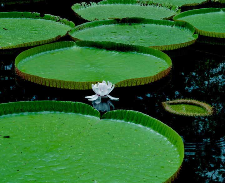 Lotus Photography By Anartlova | Artmajeur encequiconcerne Plante Jardin Zen