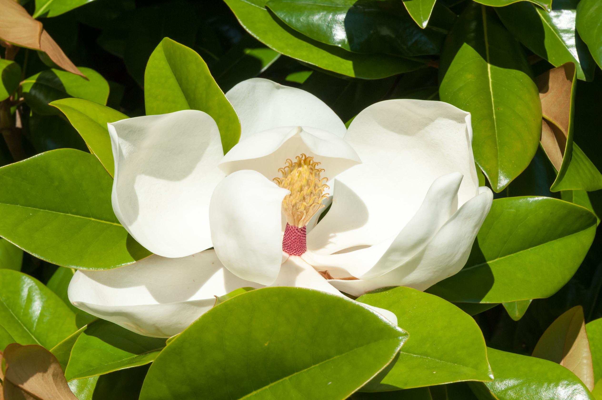 Magnolia - Arbre, Arbuste & Conifère - Jardin - Jardiland encequiconcerne Arche Jardin Jardiland
