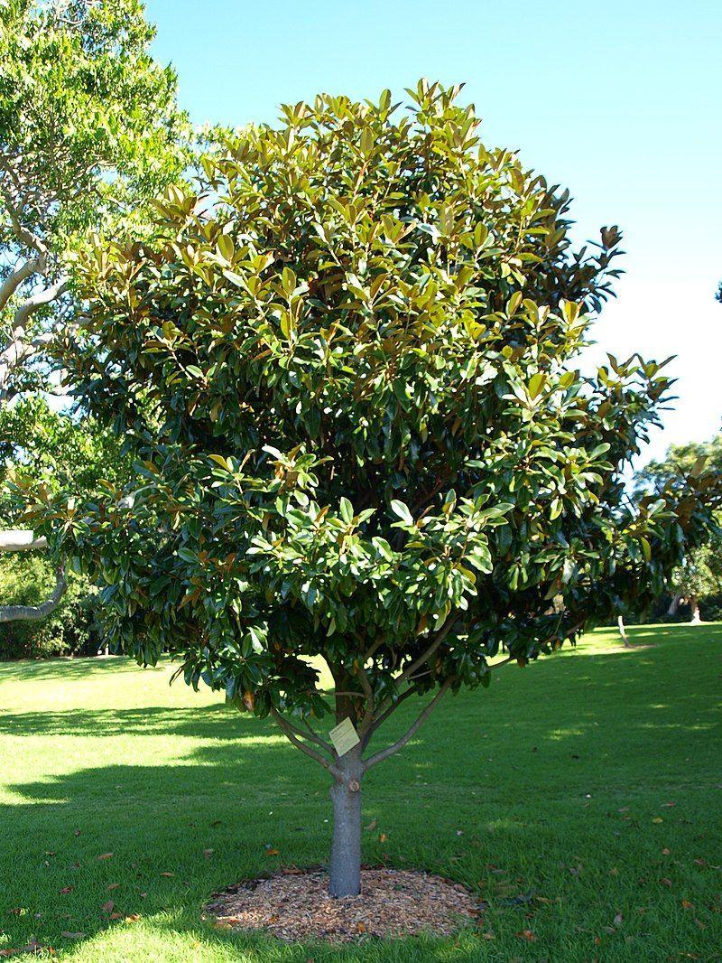 Magnolia Grandiflora 'galissoniensis' | Massif Fleurs, Arbre ... pour Arbre Persistant Pour Petit Jardin
