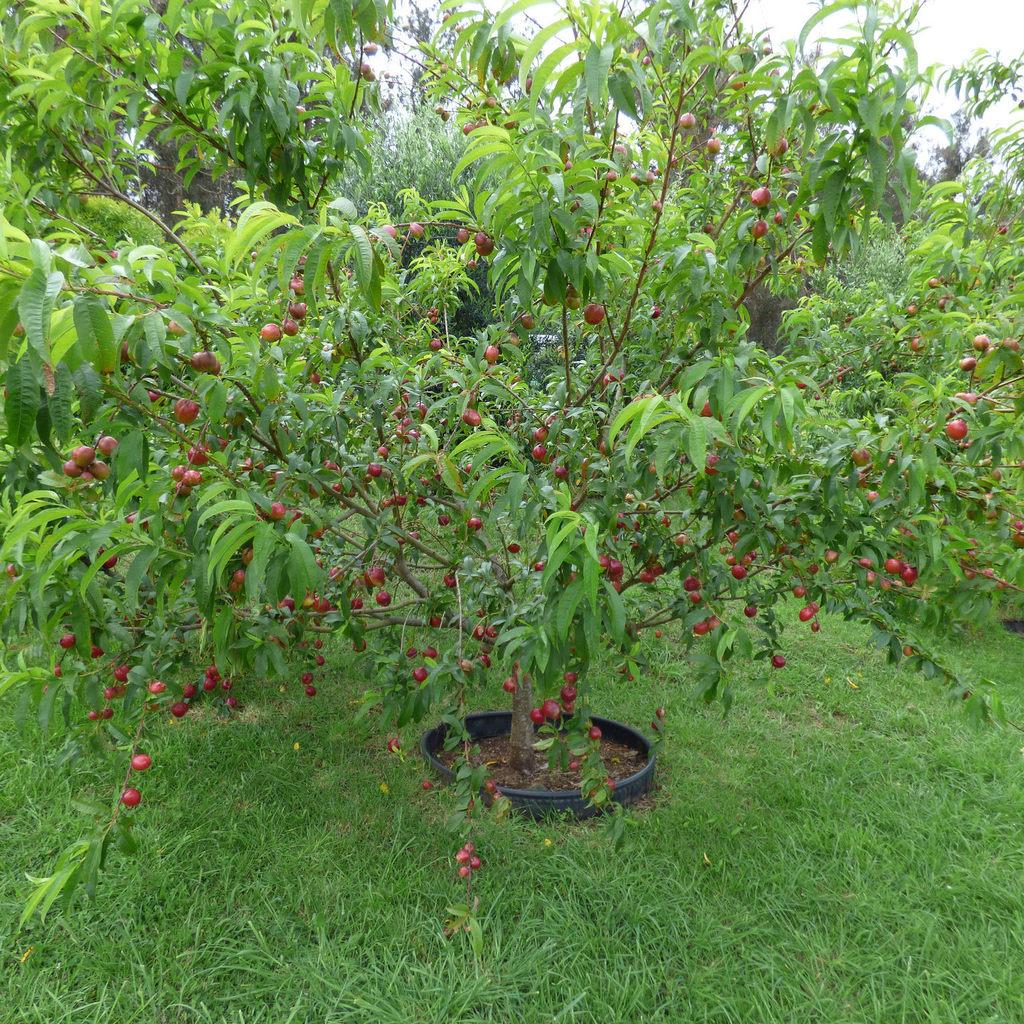 Nectarinier Nectared Arbre De 3 Ans Fruits Cilingirmerkezi serapportantà Bordure Jardin Caoutchouc