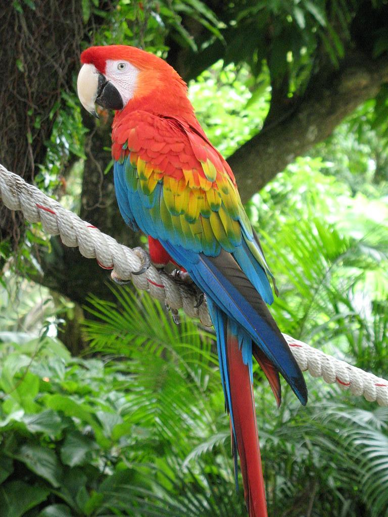 Perroquet Ara Rouge À Deshaies | Espèce Vue Dans Le Jardin B ... avec Perroquet Jardine