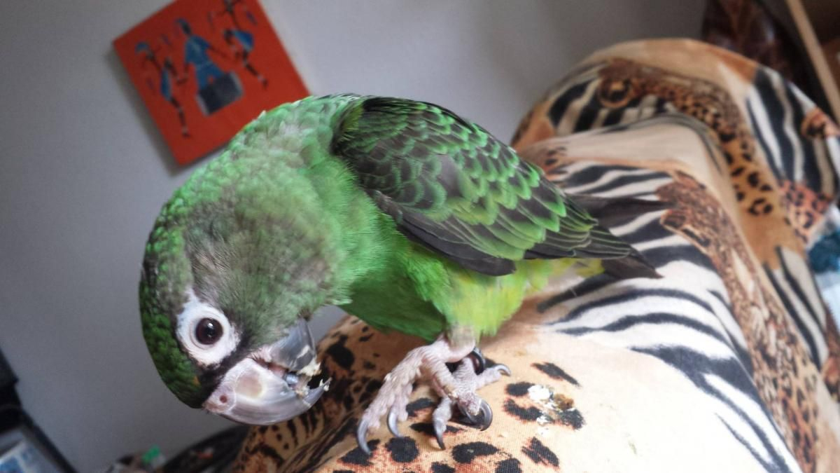 Perroquet Jardine | Perroquet, Oiseaux, Exotique concernant Perroquet Jardine
