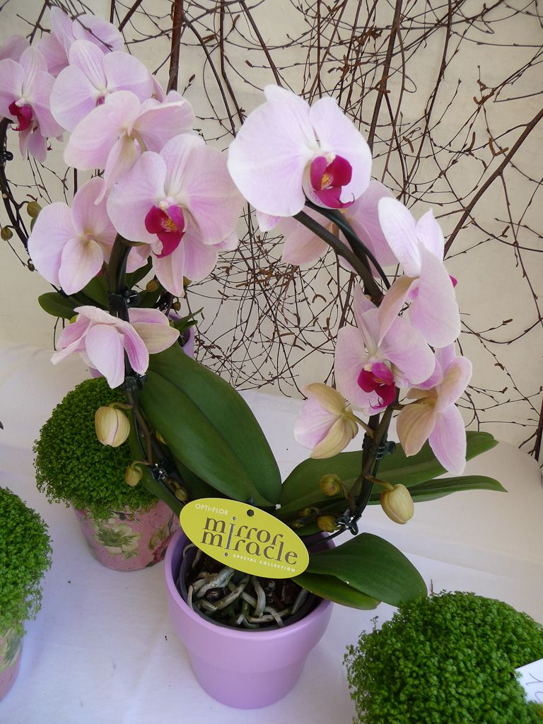 Phalaenopsis Sur Arceau | Plantes Que J'aime / Plants I Love serapportantà Arceau De Jardin
