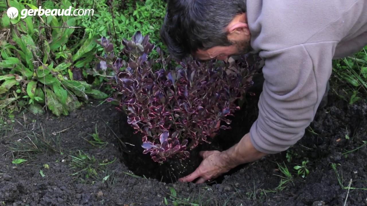 Planter Une Haie D'arbustes Persistants : Plantation, Arrosage tout Haie De Jardin Pousse Rapide