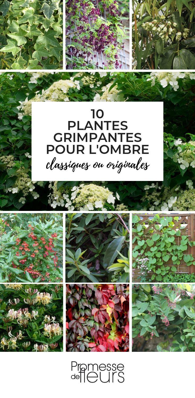Plantes Grimpantes Pour L'ombre : Lesquelles Choisir ... concernant Plante Jardin Ombre