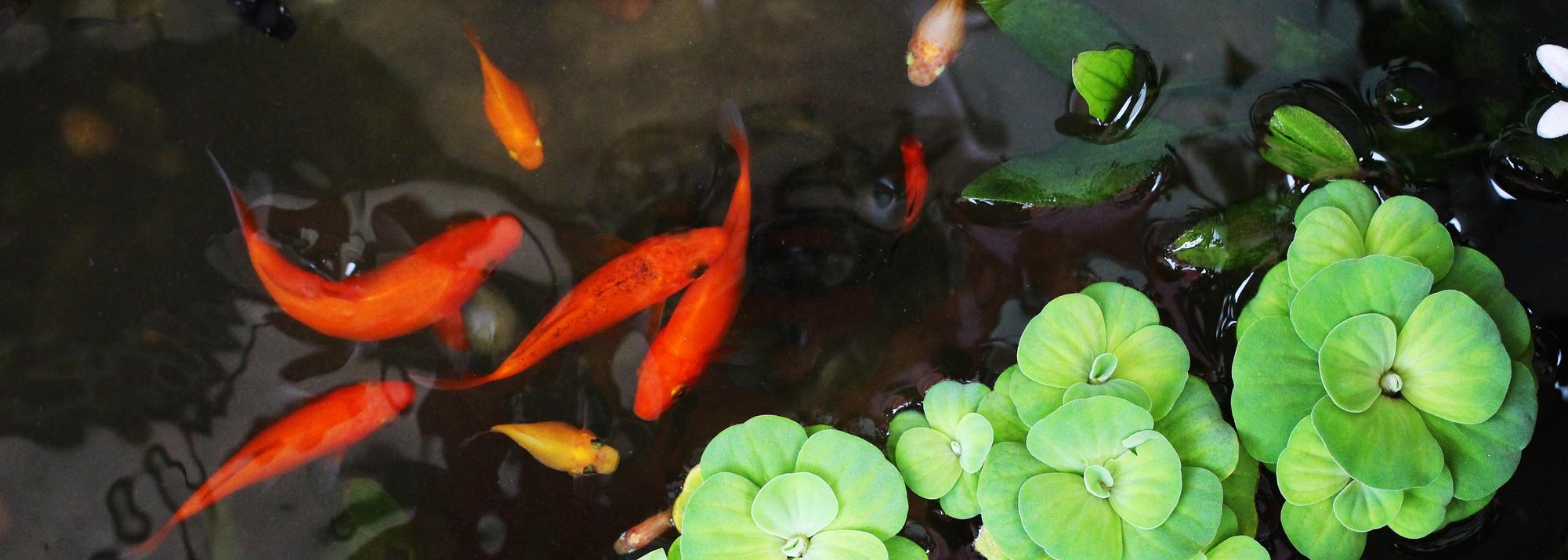 Poissons De Bassin : Botanic®, Nos Poissons Et Carpes Koi ... avec Accessoires Pour Bassin De Jardin