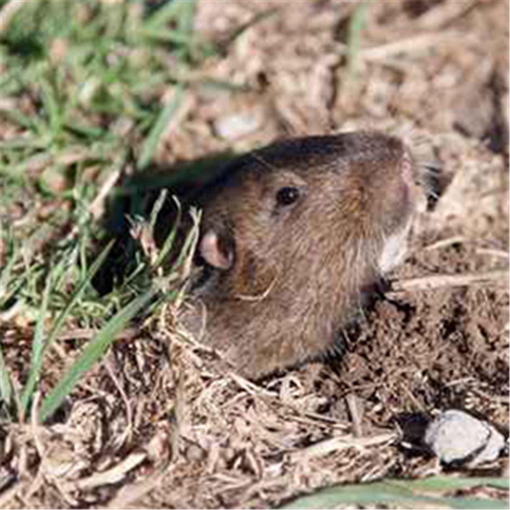 Protéger Le Jardin Des Rongeurs Nuisibles - Tom Press destiné Comment Se Débarrasser Des Rats Dans Le Jardin