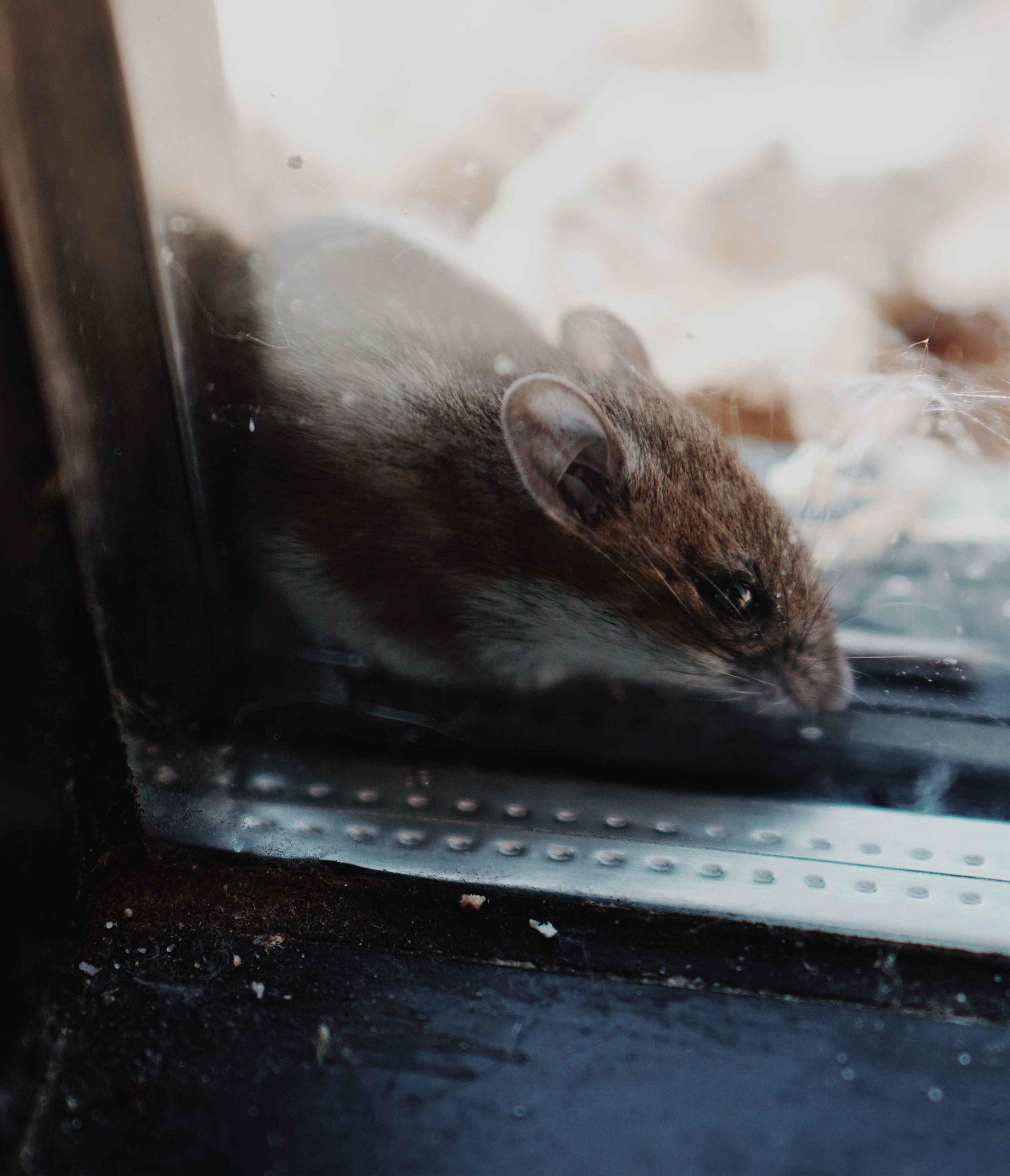 Quels Sont Les Signes Caractéristiques Des Rats Et Des ... intérieur Comment Se Débarrasser Des Rats Dans Le Jardin