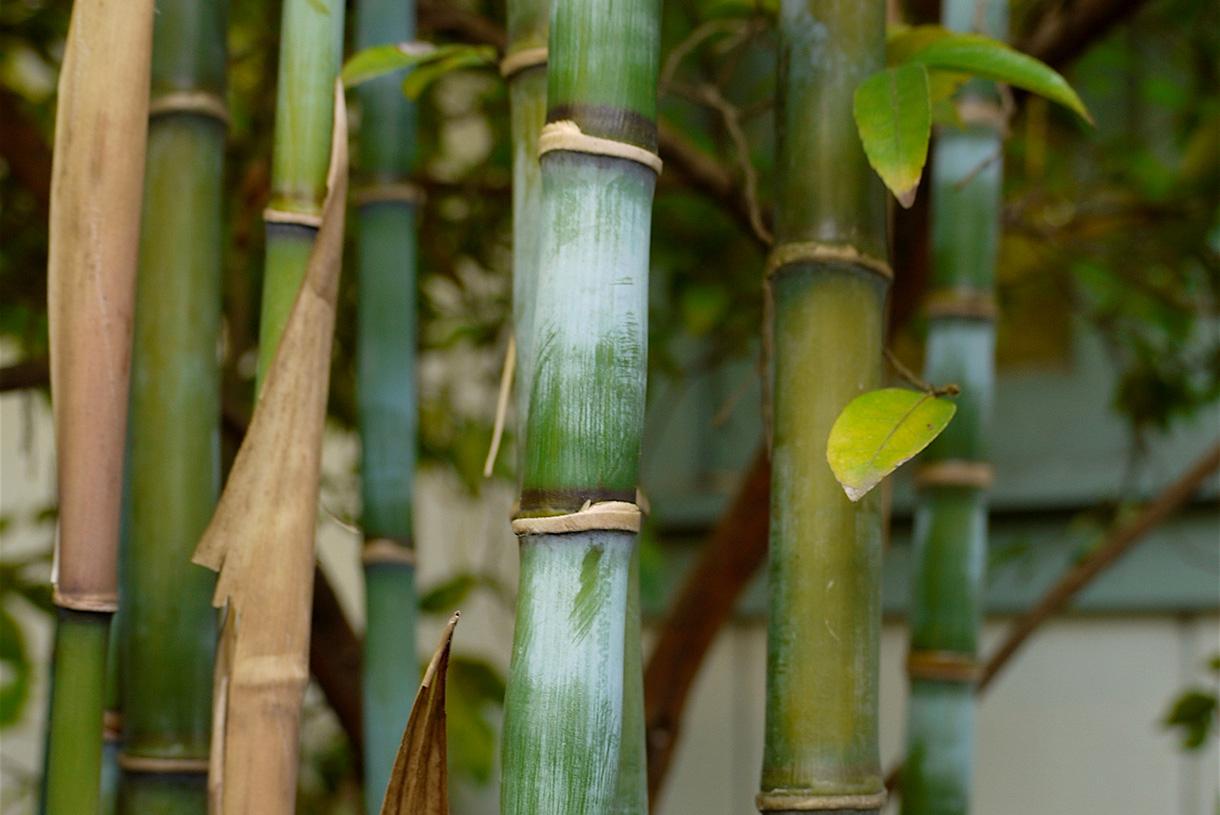 Réussir La Taille Du Bambou En 3 Étapes (Facile) | Détente ... intérieur Comment Eliminer Les Bambous Dans Un Jardin