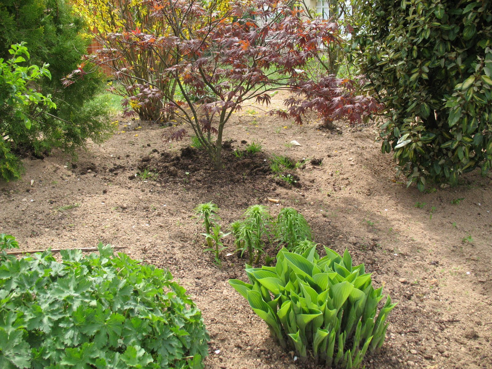 """Roses Du Jardin Chêneland: Hosta """"halcyon"""" concernant Bruler Feuilles Jardin"""