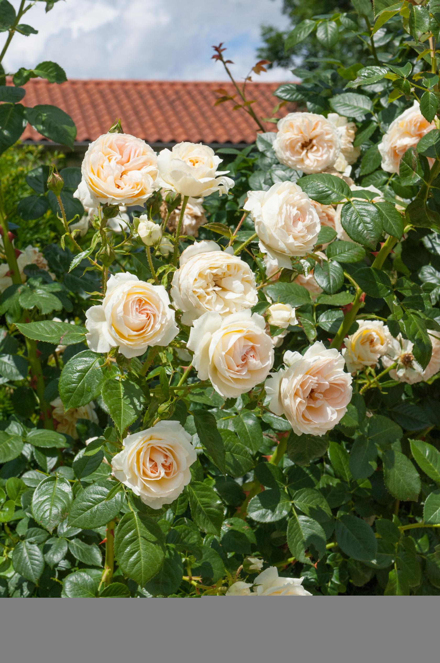 Rosier 'mon Jardin Et Ma Maison' - Jardiland pour Arche Jardin Jardiland