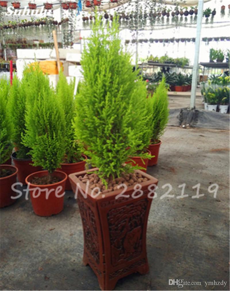 Satın Al Sıcak 50 Adet İtalyan Selvi Cupressus Sempervirens Çam Ağacı  Tohumları, Popüler Hardy Evergreen Pinus Bonsai Tohumlar Hindistan Holly  Saksı ... dedans Forage Jardin