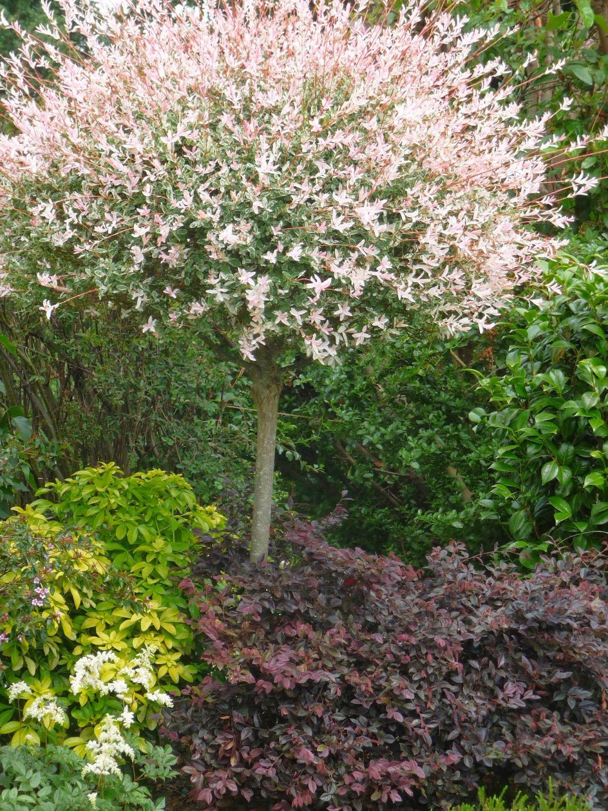 Saule Crevette En Arbre | Amenagement Jardin, Terrasse ... avec Arbre Persistant Pour Petit Jardin