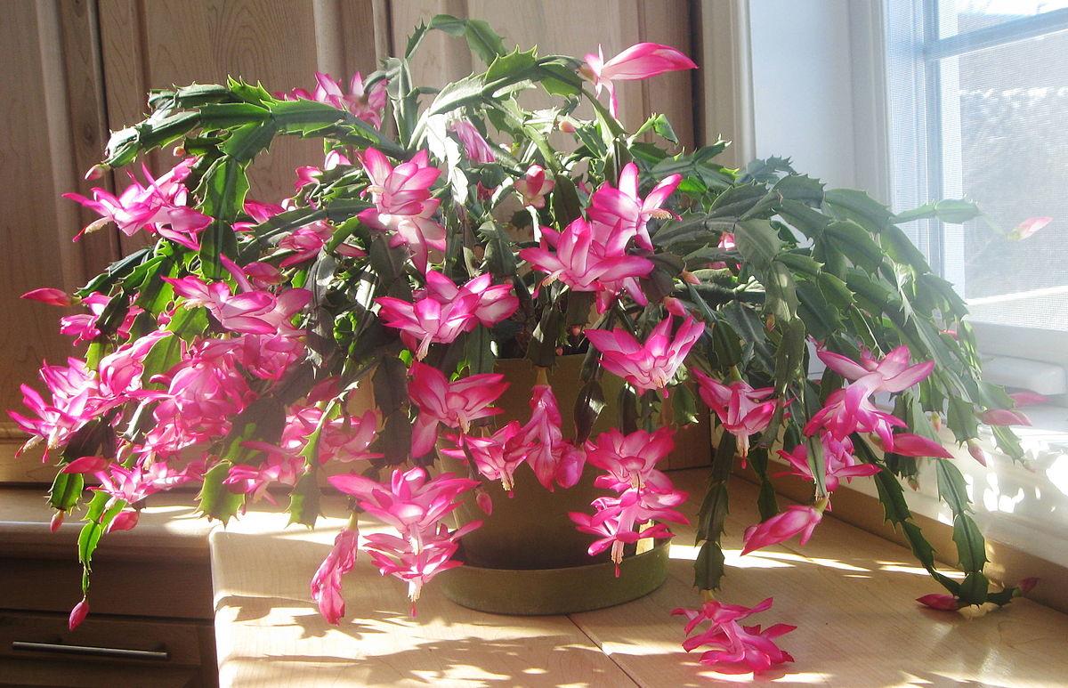 Schlumbergera - Wikipedia encequiconcerne Jardin Cactus Miniature