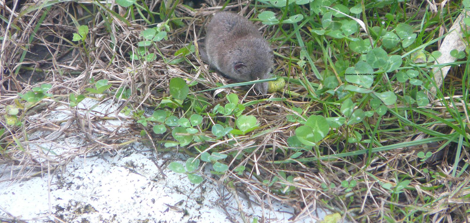 Se Débarrasser Des Musaraignes Sans Les Tuer, Service Anti ... pour Comment Se Débarrasser Des Rats Dans Le Jardin