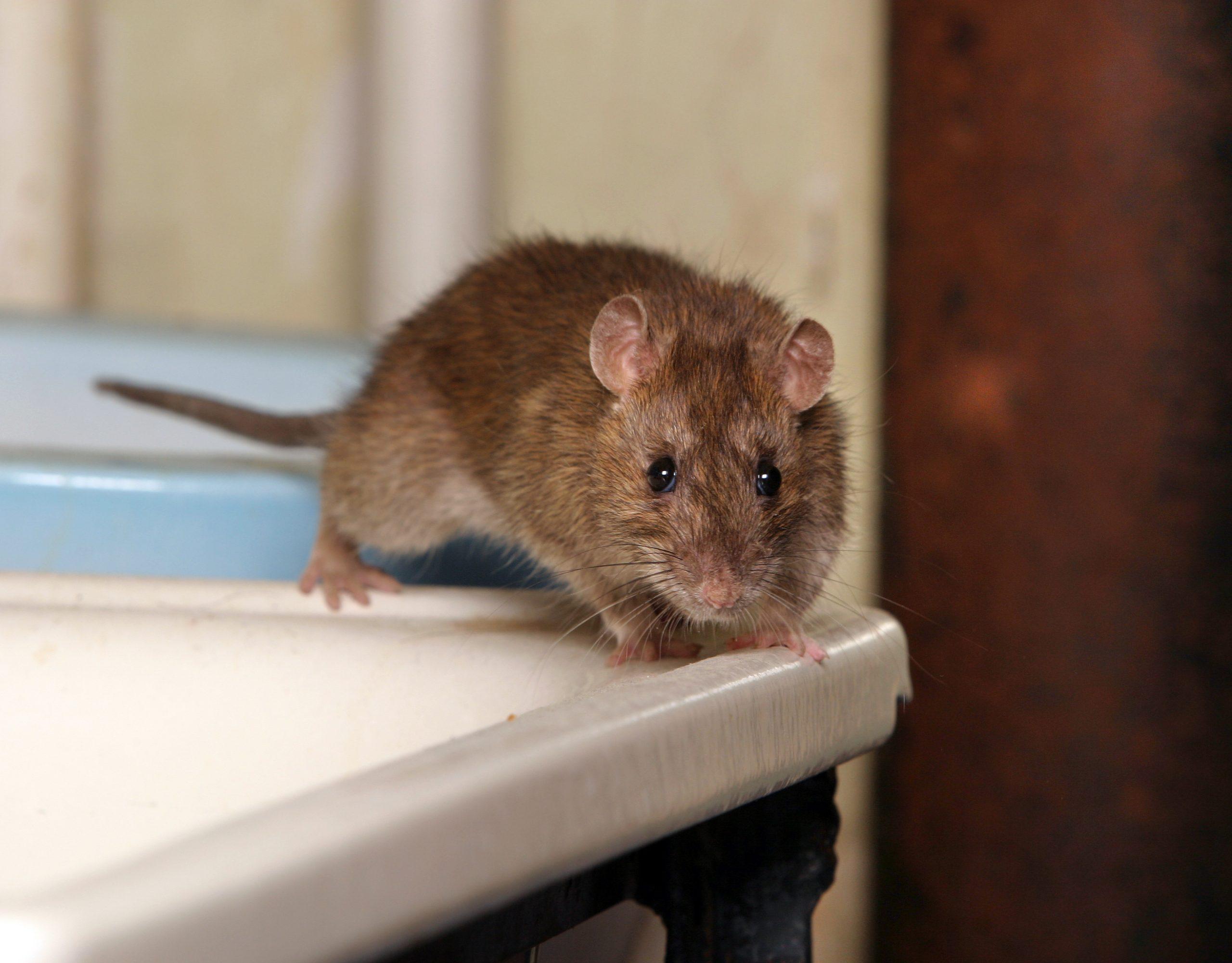 Souris Et Rats : Les Méthodes Pour Les Éliminer dedans Comment Se Débarrasser Des Rats Dans Le Jardin
