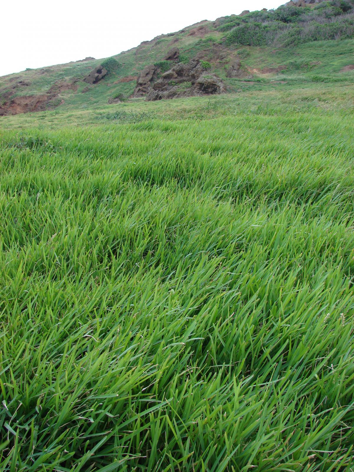 St Augustine Grass (Stenotaphrum Secundatum) | Feedipedia concernant Forage Jardin