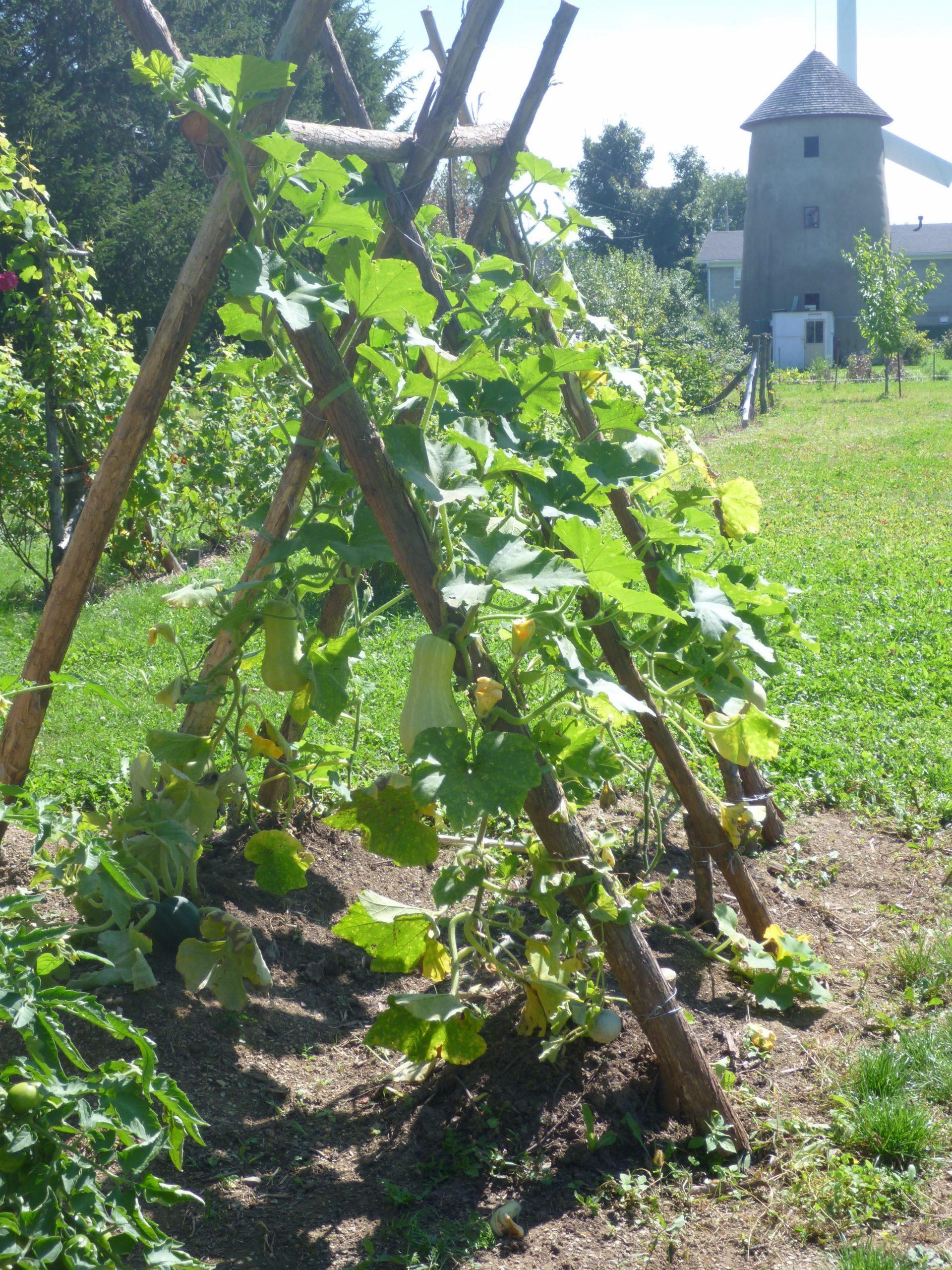 Structure Pour Les Courges | Jardin Potager, Tuteur Jardin ... concernant Idee De Plantation Pour Jardin