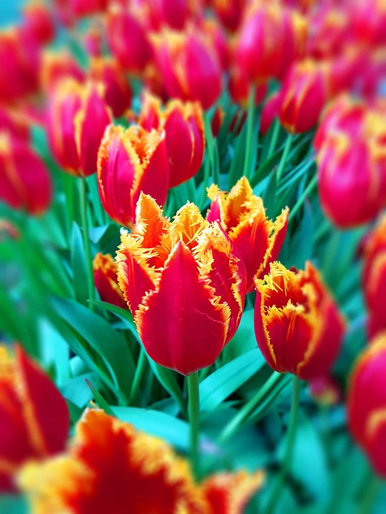 The World's Best Photos Of Amsterdam And Tulip - Flickr Hive ... tout Jardin De Keukenhof