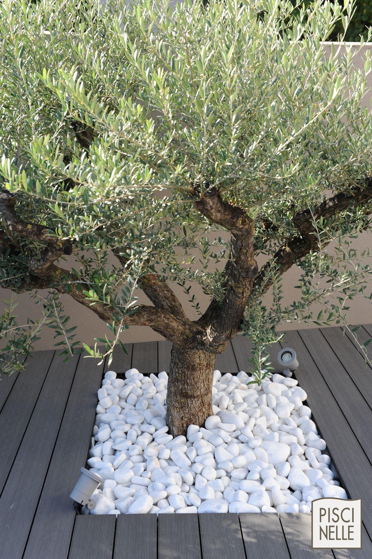 Un #olivier Entouré De Galets Pour Votre #jardin #galet ... à Jardin Avec Galets Blancs