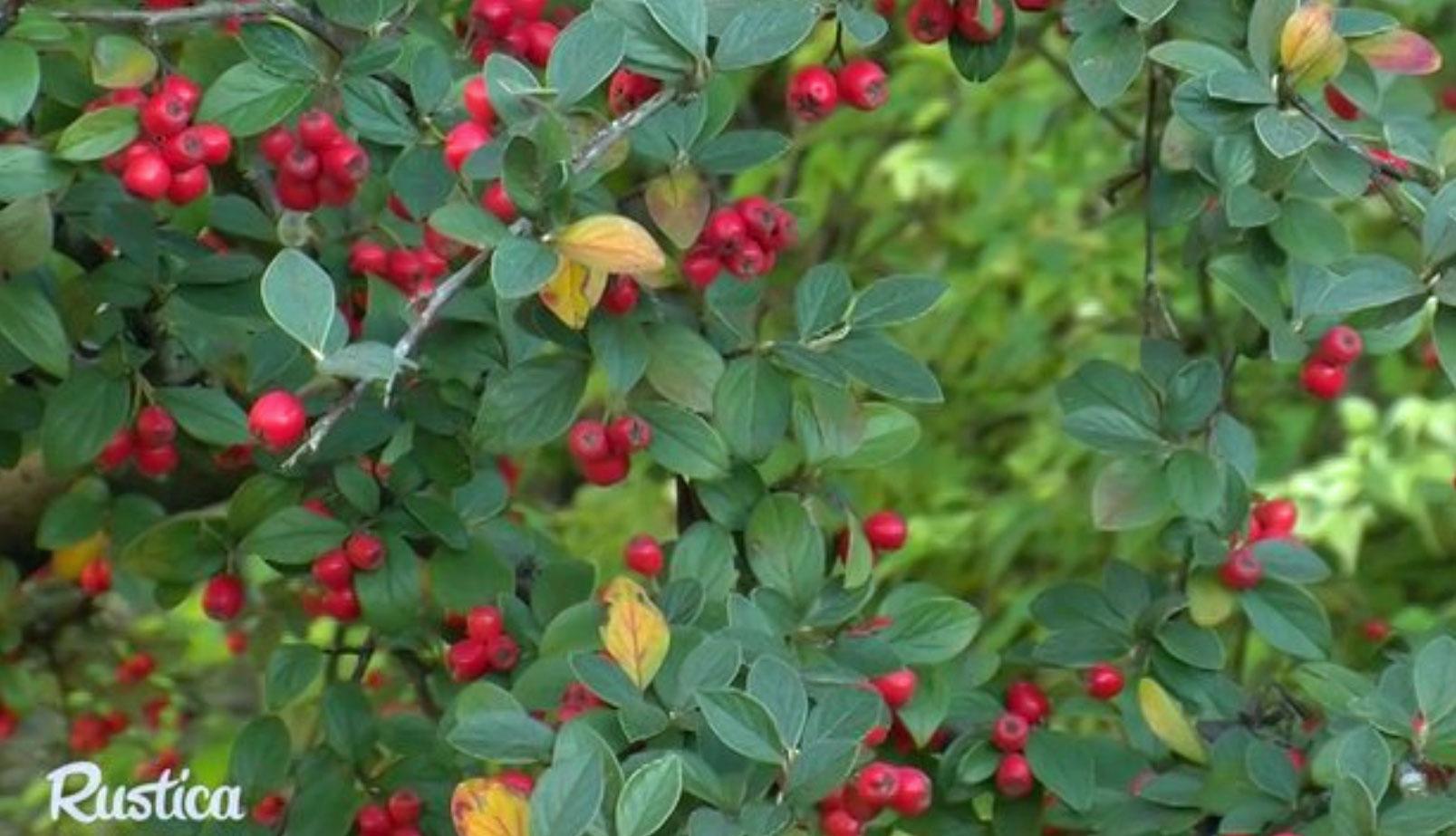 Une Haie D'arbustes À Petits Fruits Déco Et Utiles Pour Les Oiseaux intérieur Arbre Pour Petit Jardin