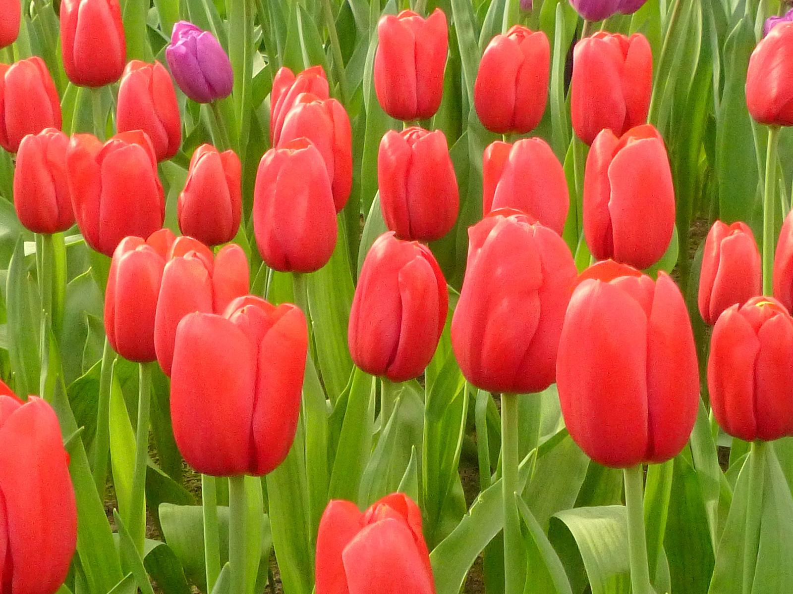 Wikiloc | Picture Of Jardins De Keukenhof (Lisse, Holanda) (3/6) concernant Jardin De Keukenhof