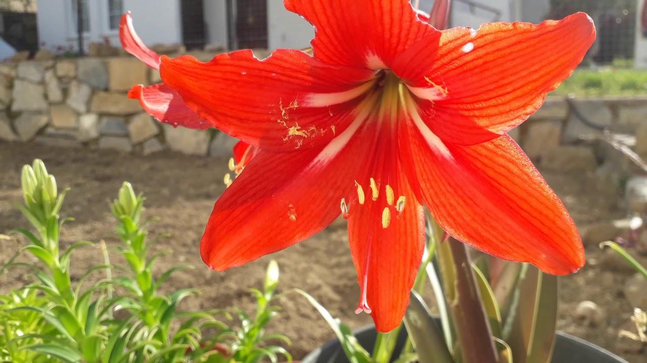 Zambak / Amaryllis Nasıl Yetiştirilir / Boru Zambağı Yetiştirme/ Soğanlı  Bitkiler serapportantà Amaryllis De Jardin