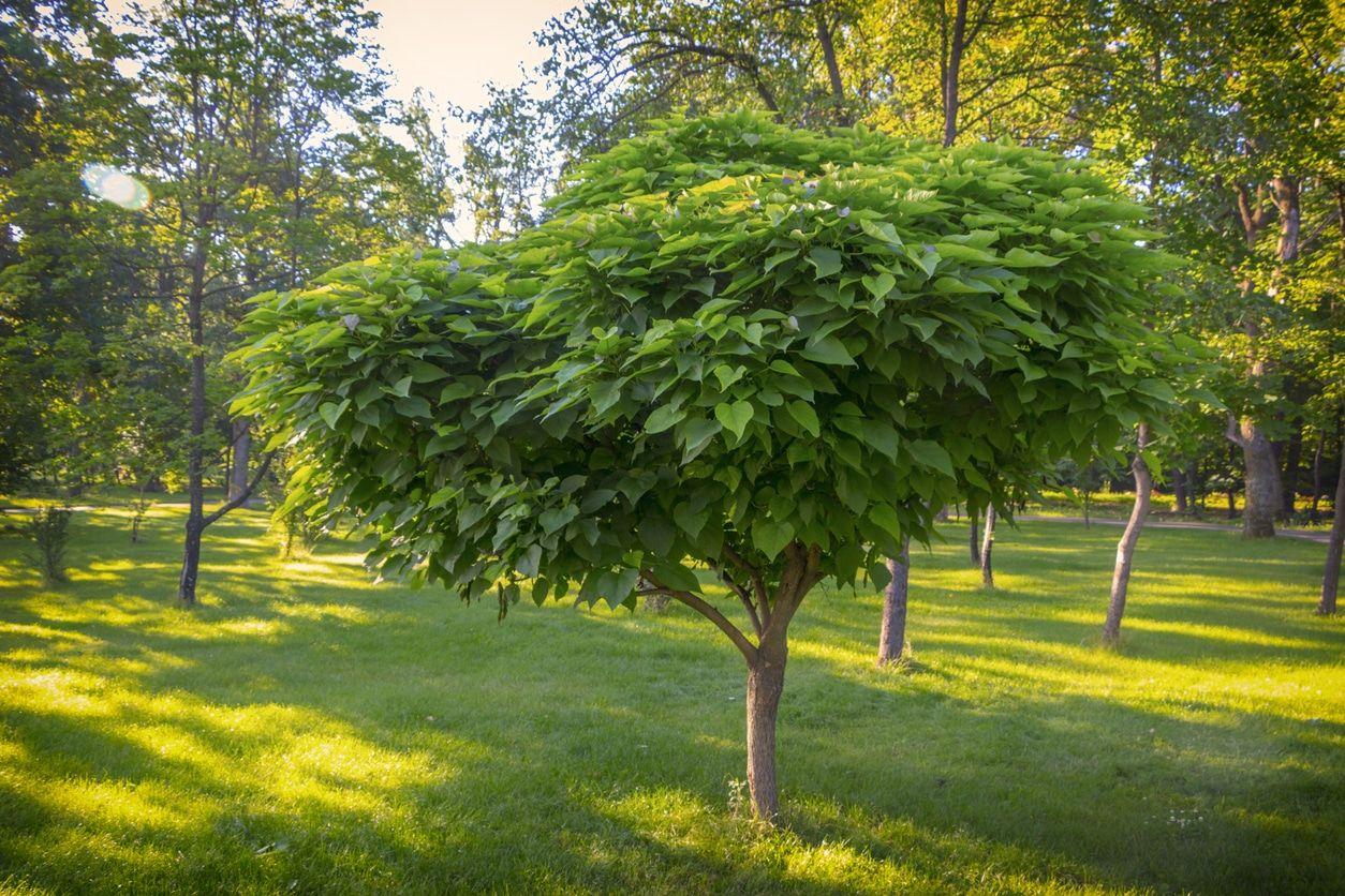 10 Arbres À Croissance Rapide À Mettre Au Jardin | Arbres À ... dedans Arbre À Croissance Rapide