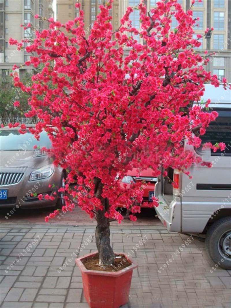 10 Pcs Rouge Japonais Cerise Fleurs Graines Cour Jardin ... serapportantà Pot Rouge Jardin