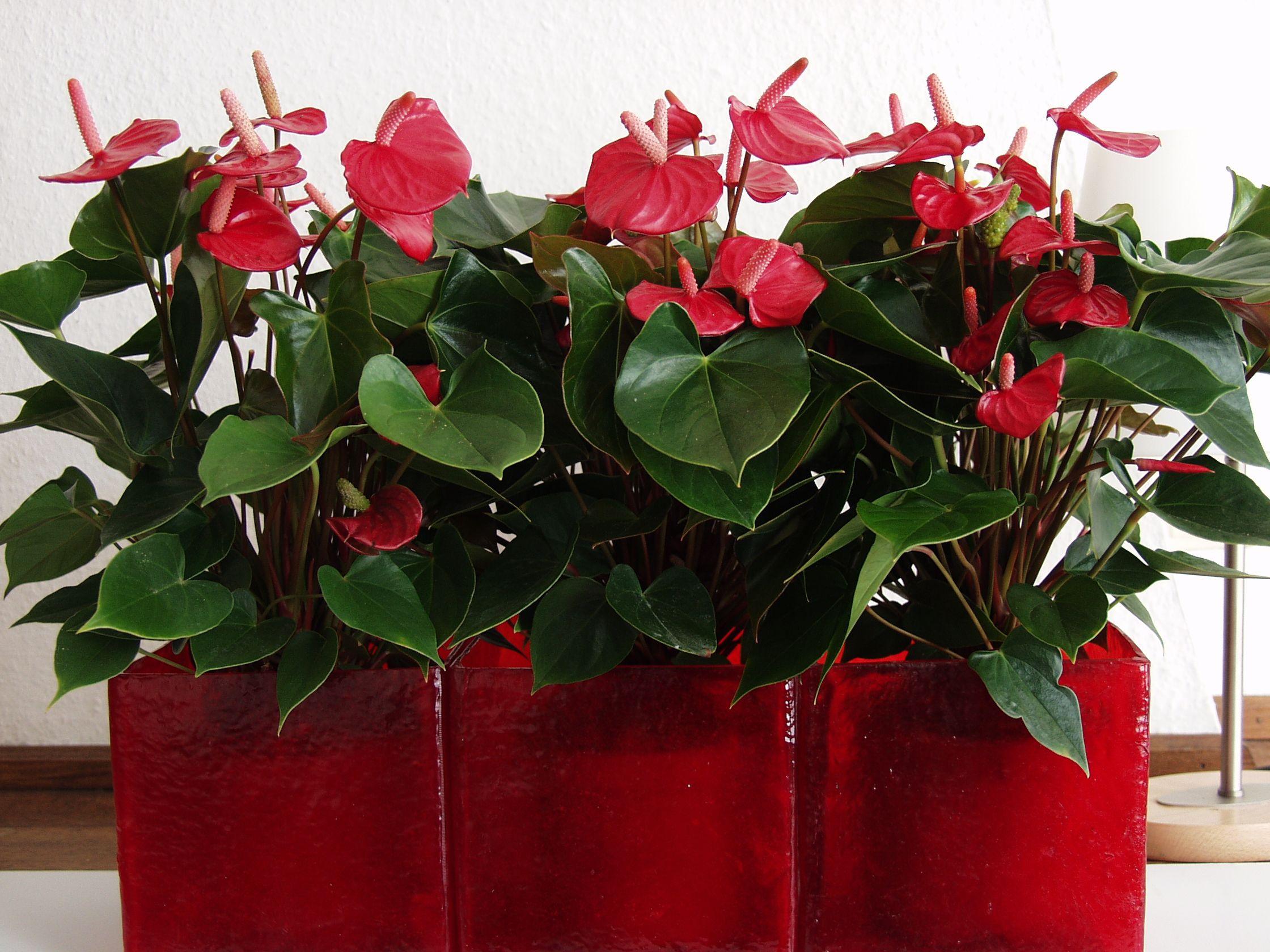 Anthurium Rouge Pour Pot Rouge ! #acmsp | Jardins intérieur Pot Rouge Jardin
