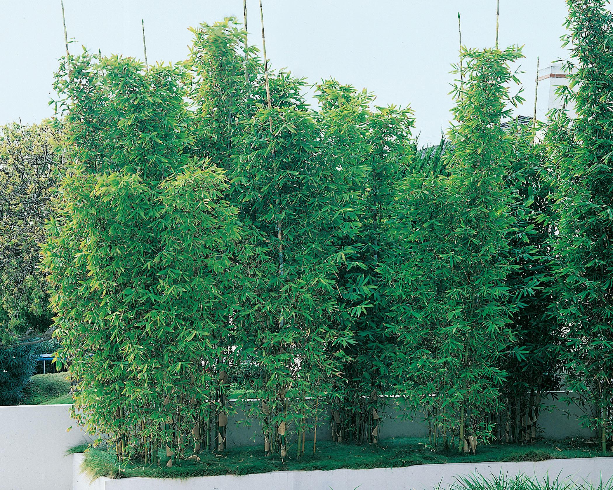 Bambou 'fastuosa' - Bambou - Plante D'extérieur - Jardin ... à Abri Extérieur Pour Chat Jardiland