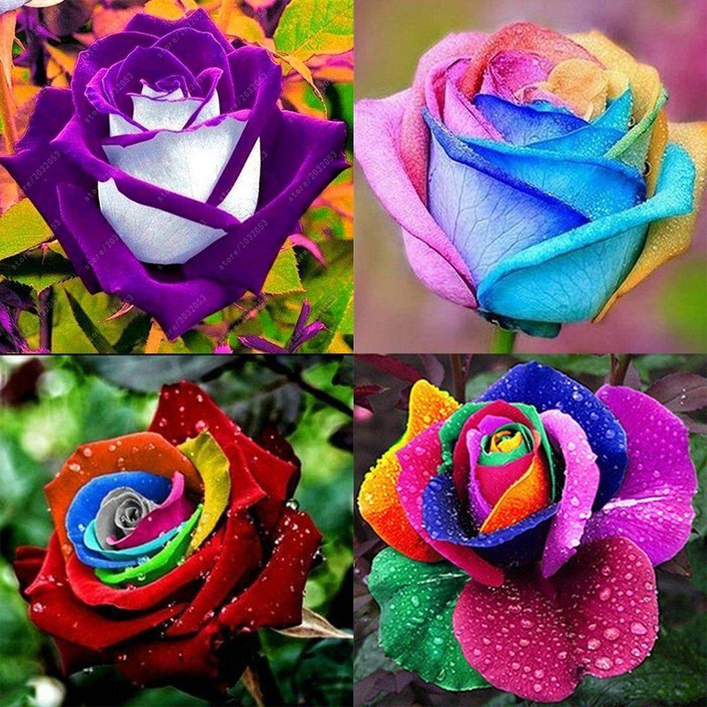 Noir Rose Graines De Fleur Rare Bordure Rouge Pot Bonsaï ... concernant Pot Rouge Jardin